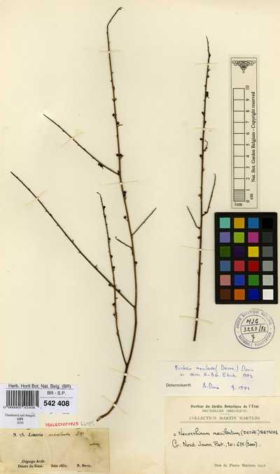 Nanorrhinum macilentum (Decne.) Betsche