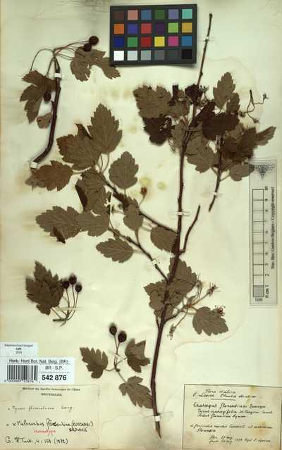 x Malosorbus florentinus (Zuccagni) Browicz