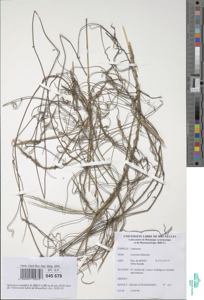 Cassytha filiformis L.