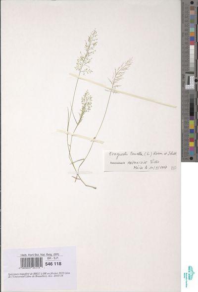 Eragrostis amabilis (L.) Wight & Arn.