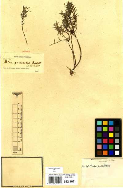 Pilea gnidioides Griseb.