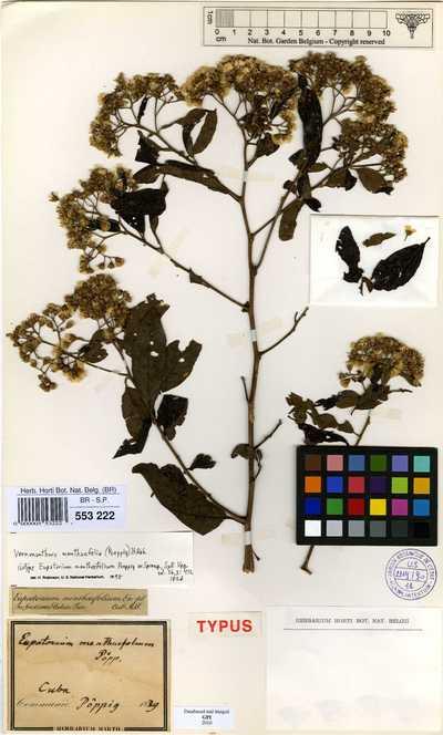Vernonanthura menthaefolium (Poepp. ex Spreng.) H.Rob.