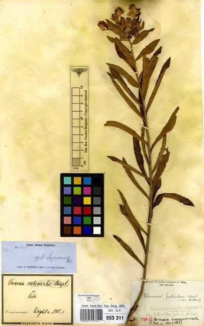 Lepidaploa sagraeana (DC.) H.Rob.