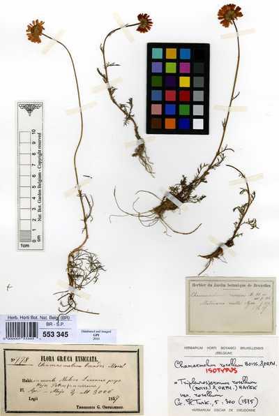 Tripleurospermum rosellum (Boiss. & Orph.) Hayek var. rosellum