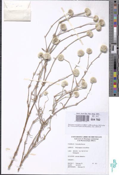 Polycarpaea corymbosa (L.) Lam.