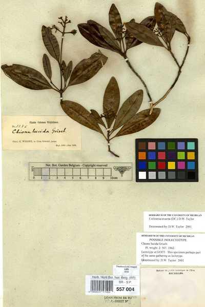Colleteria exserta (DC.) David W.Taylor