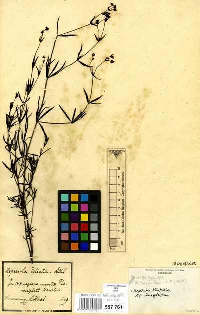 Asperula tinctoria L. subsp. hungarorum (Borbas ex Jav.) Soo