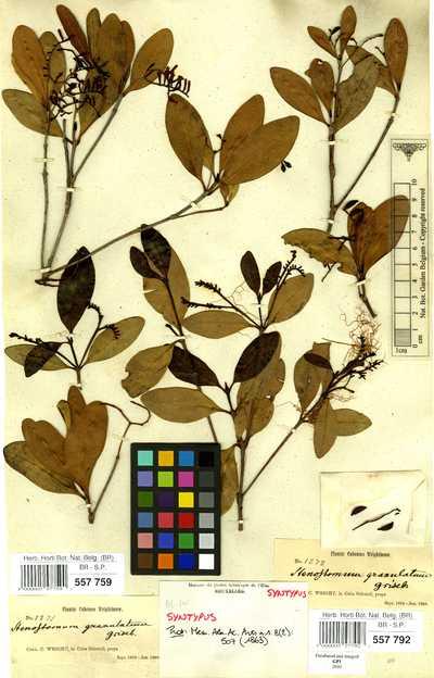 Stenostomum granulatum Griseb.