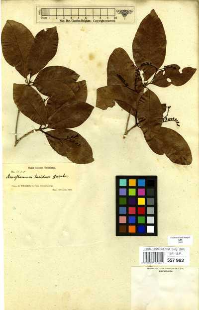 Stenostomum lucidum (Sw.) C.F.Gaertn.