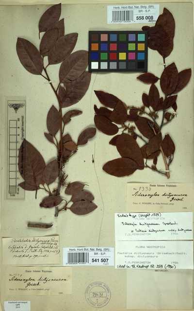 Pouteria dictyoneura (Griseb.) Radlk. subsp. dictyoneura
