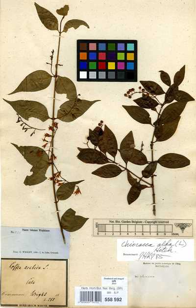 Chiococca alba (L.) Hitchc.