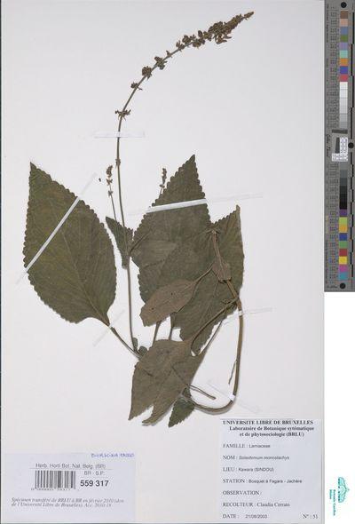 Solenostemon monostachyus (P.Beauv.) Briq. subsp. monostachyus