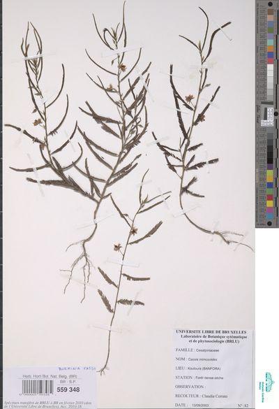 Chamaecrista mimosoides (L.) Greene