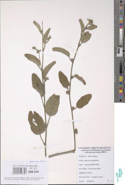 Melochia melissifolia Benth.