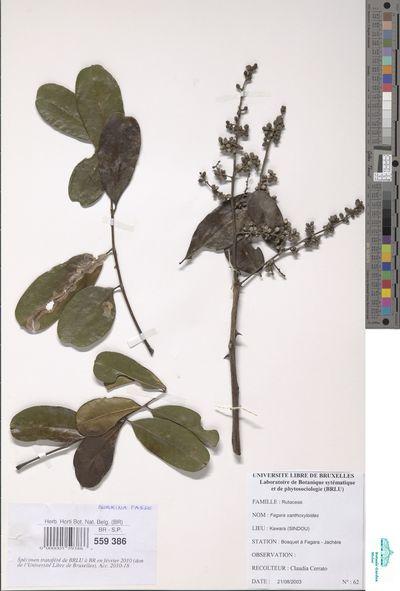 Zanthoxylum zanthoxyloides (Lam.) Zepern. & Timler