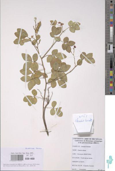 Chamaecrista absus (L.) H.S.Irwin & Barneby