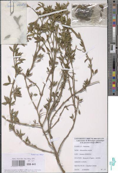 Stylosanthes erecta P.Beauv.