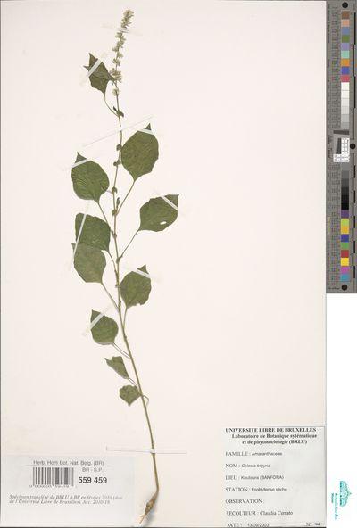 Celosia trigyna L.