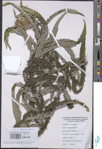 Echinops longifolius A.Rich.