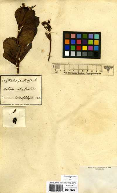 Erithalis fruticosa L.