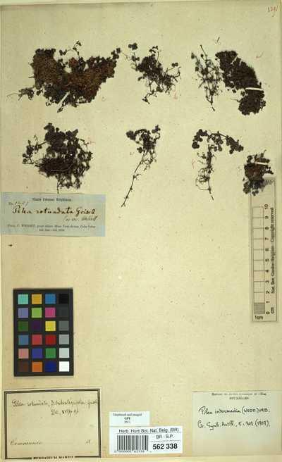 Pilea intermedia (Wedd.) Urb.