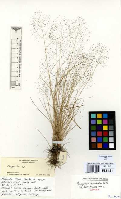 Eragrostis divaricata Cope