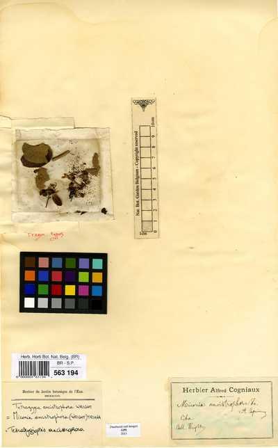 Tetrazygiopsis ancistrophora (C.Wright) Borhidi