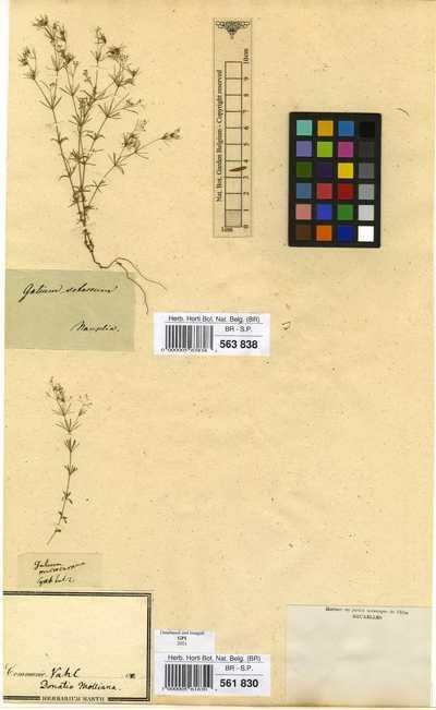 Galium setaceum Lam.