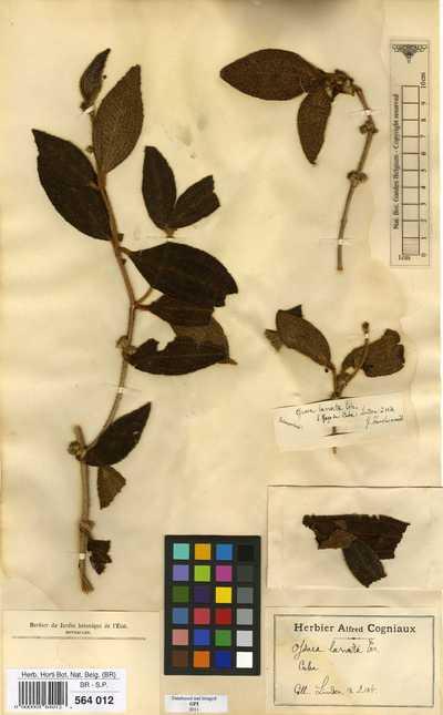 Ossaea lanata (Naudin) C.Wright