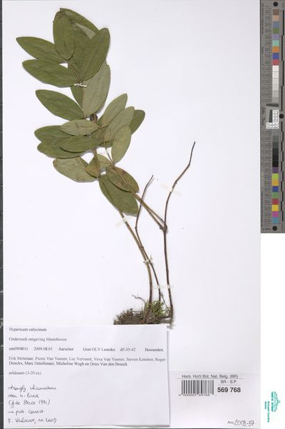 Hypericum calycinum L.