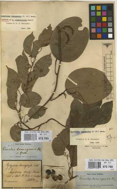 Hyperbaena rotundiuscula Miers