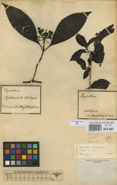 Psychotria glabrata Sw.