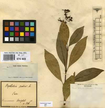 Psychotria patens Sw.