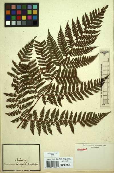 Ctenitis grisebachii (Baker) Ching