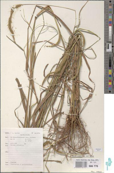 Pennisetum polystachion (L.) Schult.