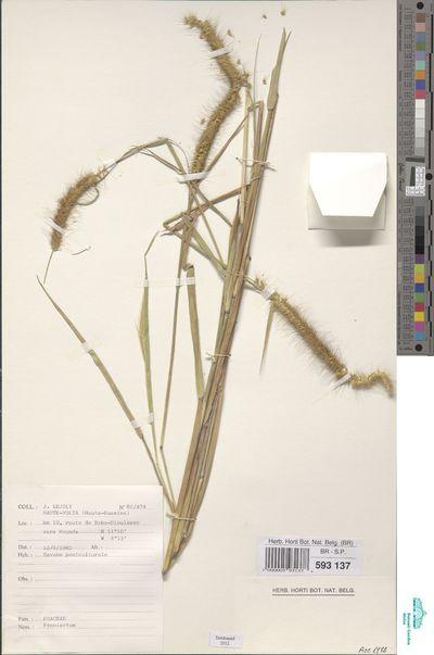 Cenchrus polystachios (L.) Morrone subsp. polystachios