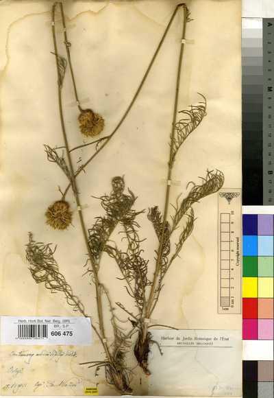 Centaurea adonidifolia Rchb.