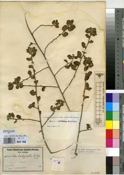 Sida brachyphylla K.Schum.