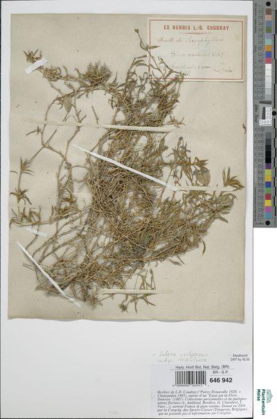 Silene vulgaris (Moench) Garcke subsp. maritima (With.) A. & D. Löve