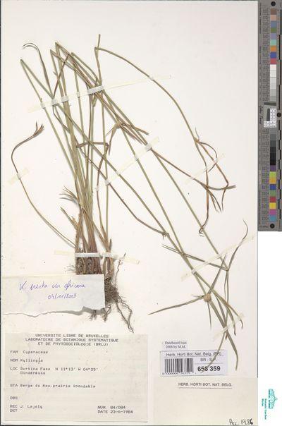 Cyperus obtusatus (J.Presl & C.Presl) Mattf. & Kük.