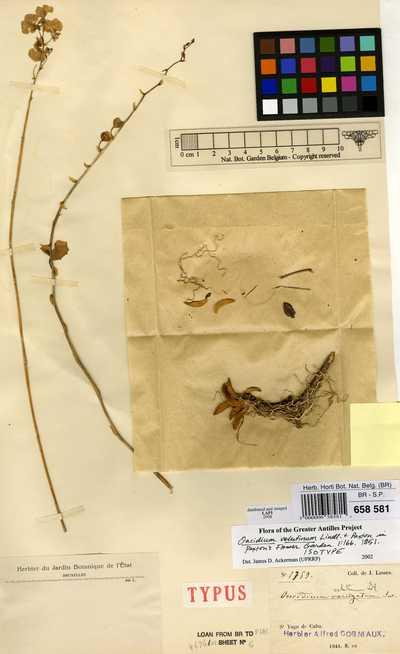 Oncidium velutinum Lindl. ex Paxton