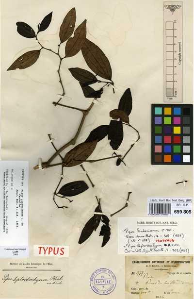Piper leptostachyum A.Rich.