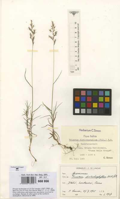 Trisetum distichophyllum (Vill.) P.Beauv.