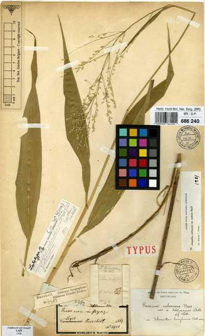 Ichnanthus calvescens (Nees ex Trin.) Döll var. scabrior Döll