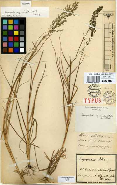 Eragrostis apiculata Döll