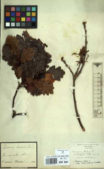 Quercus robur L. subsp. brutia (Ten.) O.Schwartz