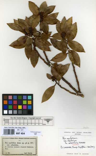 Ilex aquifolium L. var. aquifolium f. arbutifolia Tod.