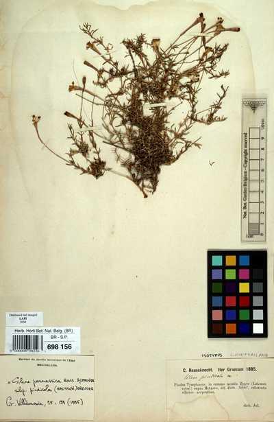 Silene parnassica Boiss. & Spruner subsp. pindicola (Hausskn.) Greuter