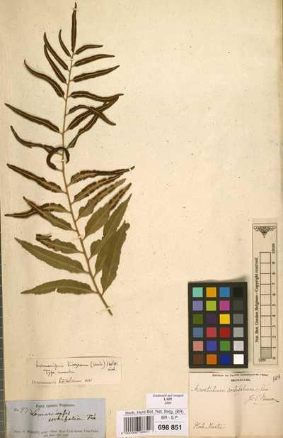 Lomariopsis kunzeana (Underw.) Holttum