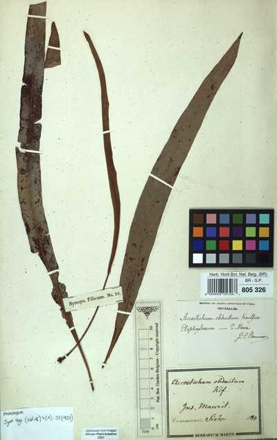Elaphoglossum obductum (Kaulf. ex Spreng.) T.Moore